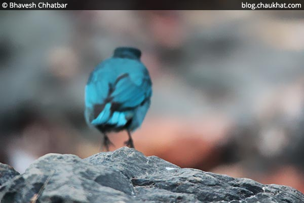 Verditer flycatcher jumping off [Eumyias thalassinus, Stoparola melanops, Eumyias thalassina]